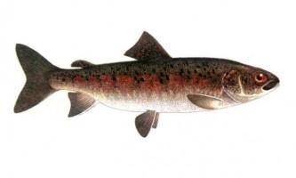 Льонок - холодолюбива риба швидких течій