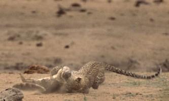 Леопард атакує крокодила. Африканська історія в фото.