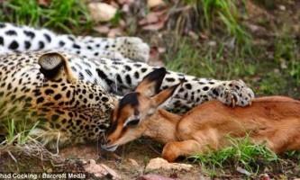 Леопард і импала: історія з трагічним фіналом
