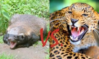 Леопард побився з медоеда
