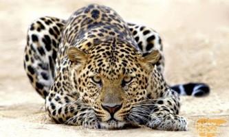 Леопард - великий мисливець