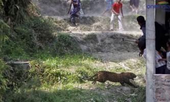 Леопард увірвався в номер до молодят в індії
