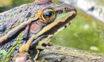 Леопардові жаби. Фото, догляд та утримання