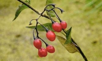 Лісові ягоди небезпечні для здоров`я людини