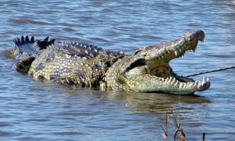 Ллє чи сльози нільський крокодил?