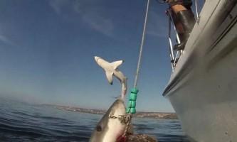 Літаюча біла акула стала зіркою youtube