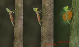 Літаюча ящірка - draco volans