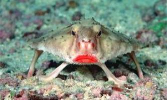 Летюча миша, batfish