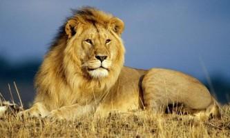 Лев - цар звірів.