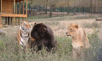 Лев лео, бенгальський тигр шер-хан і ведмідь бала - нерозлучні друзі