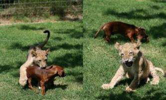 Лев з таксою стали нерозлучними друзями