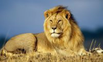 Лев тварина