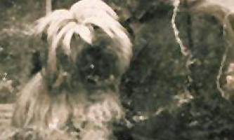 Лхаса-апсо (lhasa apso) - собака обідній вздихатель