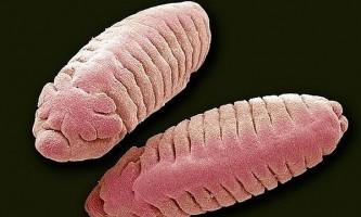 Личинки дрозофіл відчувають тепло `` очима ``