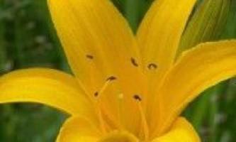 Лилейник вирощування і види