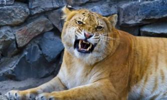 Лілігр - гібрид хижої кішки другого покоління
