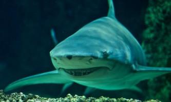 Лимонна акула - острозубие хижачка