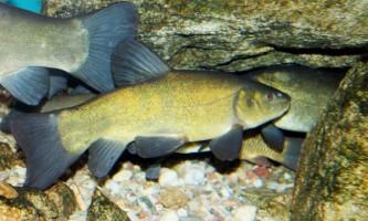 Лінь: фото риби