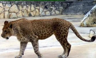 Ліпард - лев або леопард? Фото ліпарда