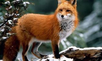 Лисиця - хитра тварина. Опис, фото, відео (vulpes vulpes)