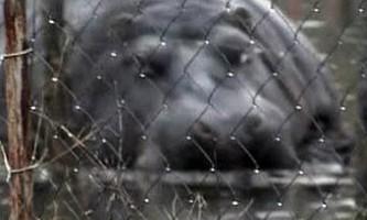Втік бегемот добровільно повернувся в зоопарк