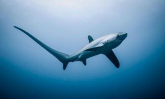 Лисяча акула, або морські лисиці (лат. Alopias)