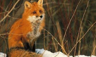 Лисиця - руда шахрайка: що ми знаємо про неї?