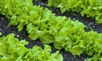 Листя салату вирощування і догляд