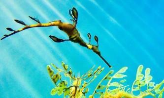 Листяний морський дракон, або морський пегас (phycodurus eques)