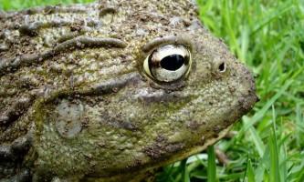 Жаба голиаф (rana goliaph)