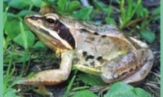 Лягушкаостромордая / rana terrestris