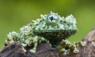 Жаби роду телодерма, або бородавчасті весільного