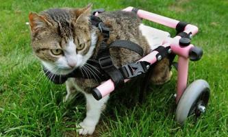 Любителька тварин оплатила операцію і інвалідний візок для кішки