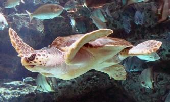Логгерхед - головаста черепаха