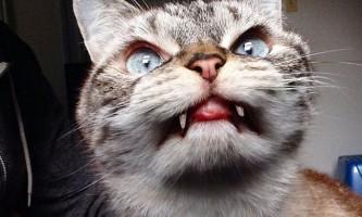 Локі - кіт-вампір, став новою зіркою інтернету