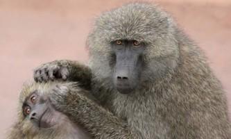 Ловлять мавпи бліх один у одного?