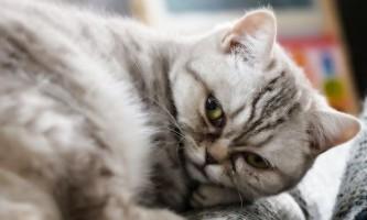 Хибна вагітність у кішок - патологія або норма?