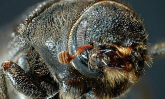 Лубоєд - різновид жуків-короїдів
