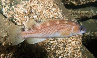 Лучеперих губан: фото, цікаві факти про рибу