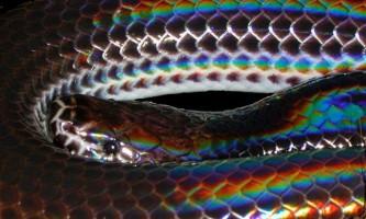 Промениста змія. Зовнішній вигляд рептилії