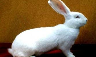 Краща порода кроликів для розведення