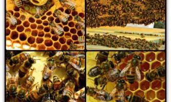Кращі породи бджіл