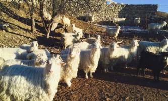 Кращі породи пухових кіз