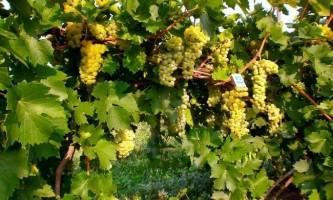 Кращі сорти білого винограду (фото, опис)