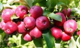 Кращі сорти яблунь для північного заходу