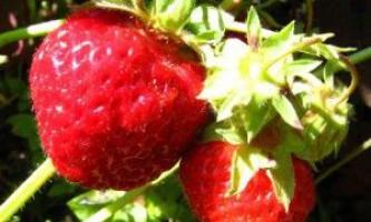 Кращі сорти полуниці