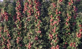 Кращі сорти колоновидною яблуні