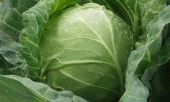 Кращі сорти ранньої капусти для вирощування