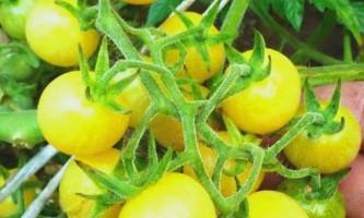 Кращі сорти жовтих томатів