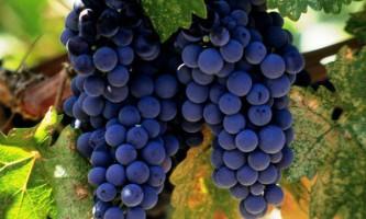Кращі столові сорти винограду